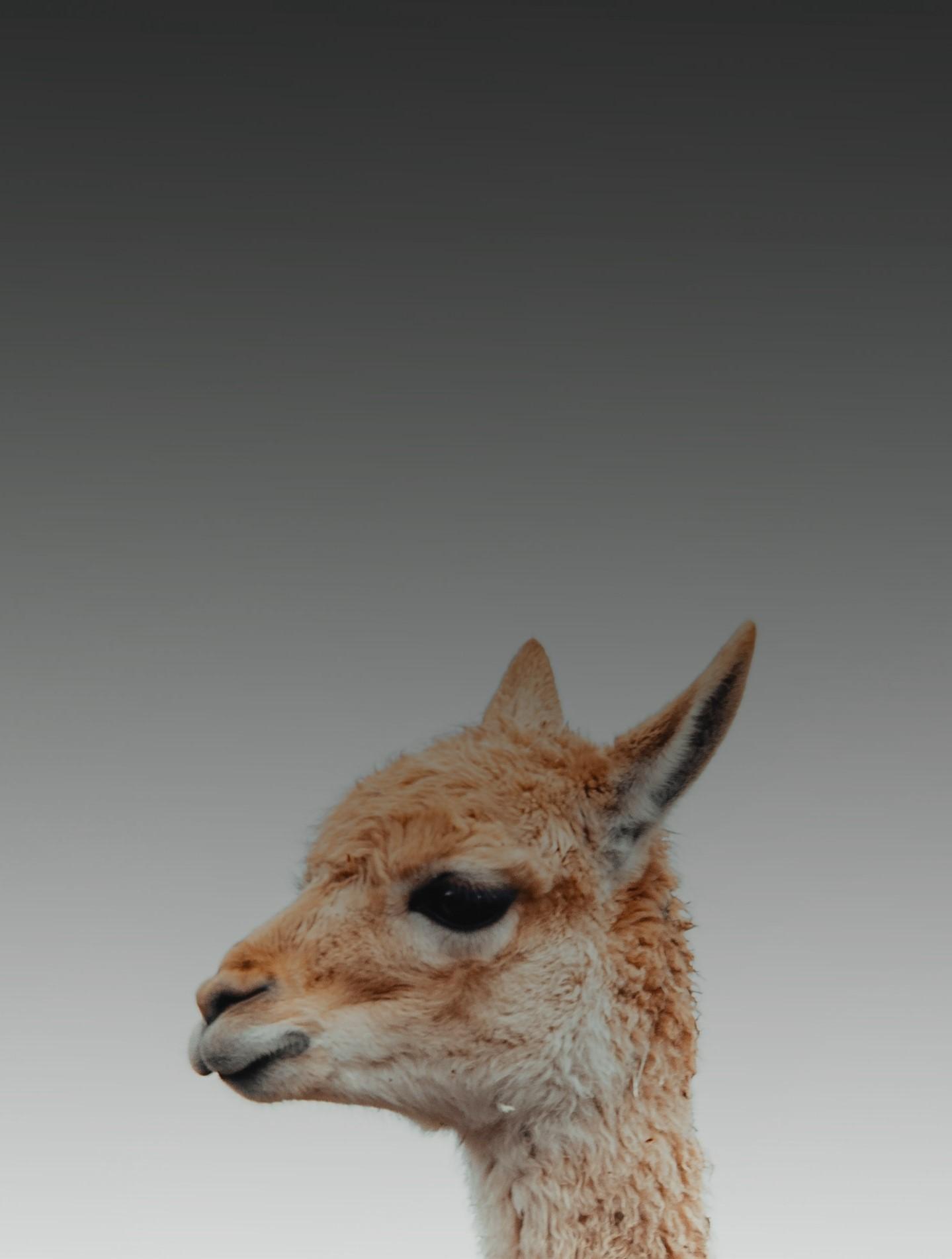 На картинке изображена лама